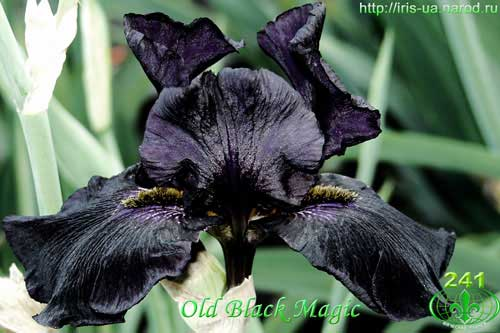 ирис Old Black Magic