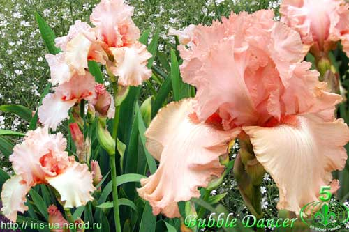 iris Bubble Dancer